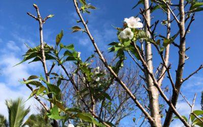 Honbushin Sakura Bloomed, November 2019